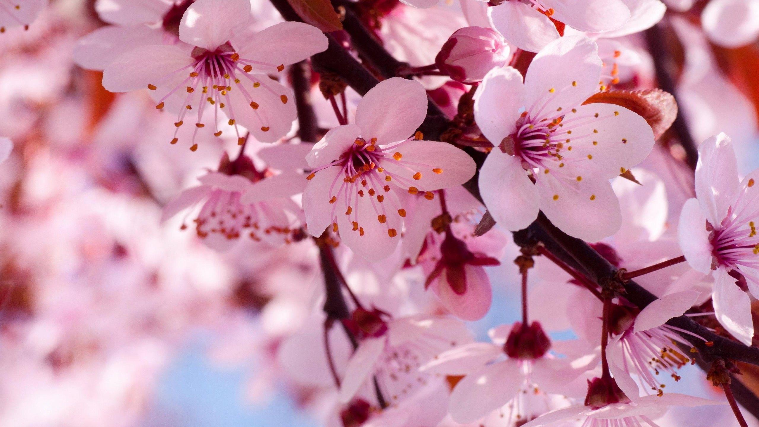 Arbol De Cerezo Japones floresde cerezo japones wallpaper - buscar con google