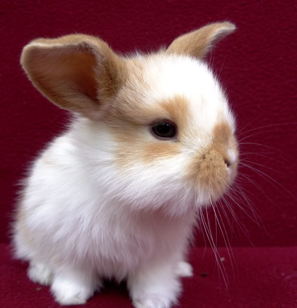 Really Cute Baby Bunnies For Sale Cute Baby Bunnies Lop Bunnies Mini Lop Bunnies