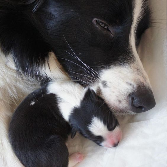 Pin By Willa Croft On Border Collies Collie Puppies Collie Dog Border Collie Lover