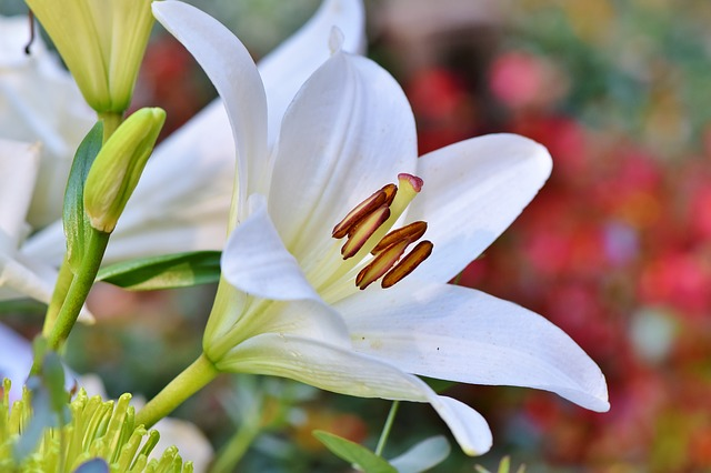 Pin By Net Sennik Pl On Sennik Beautiful Flowers Images Flower Images Lily Flower