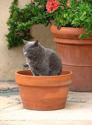 Cat in a flower pot by roseofredrock, via Flickr
