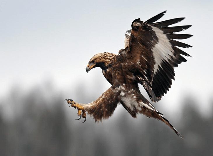 Mengetahui Ciri Khas Burung Elang Emas Aquila Chrysaetos Aquila Chrysaetos Aguila Ave Aguila Real