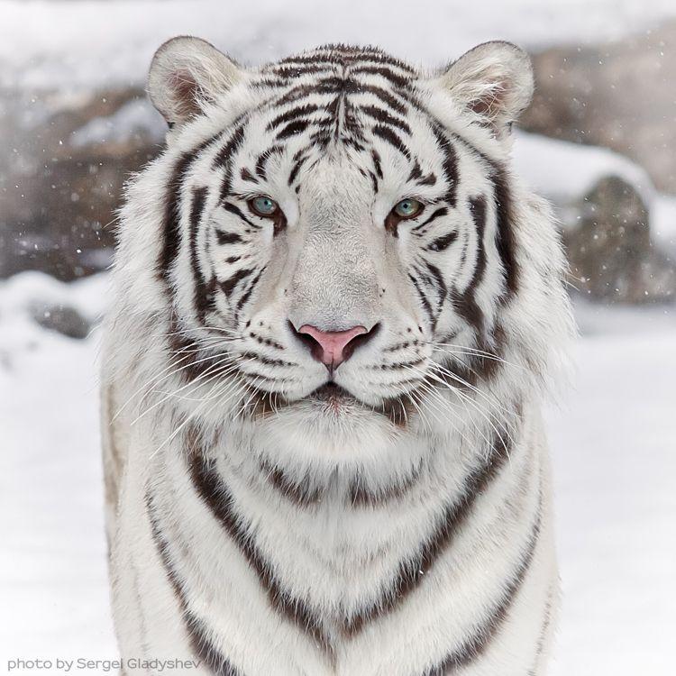 Snow Cat By Sergei Gladyshev 500px Tiger Photography Animals Wild Animals
