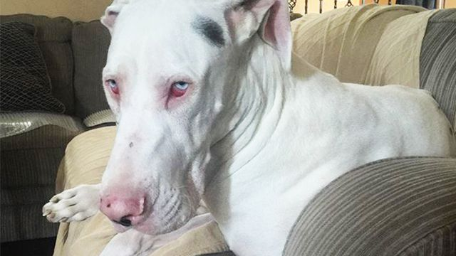 10 Facts You Should Know About Albino Dogs Great Dane Puppy