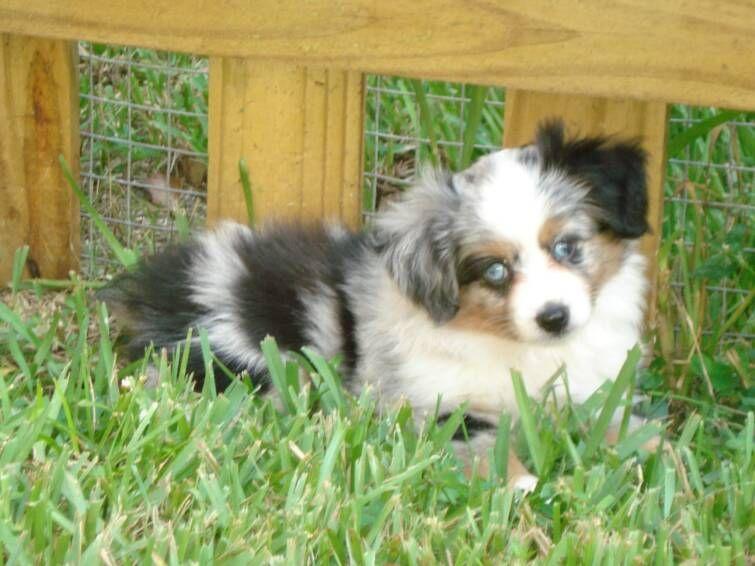 teacup australian shepherd puppies for sale | dog dogs, teacup