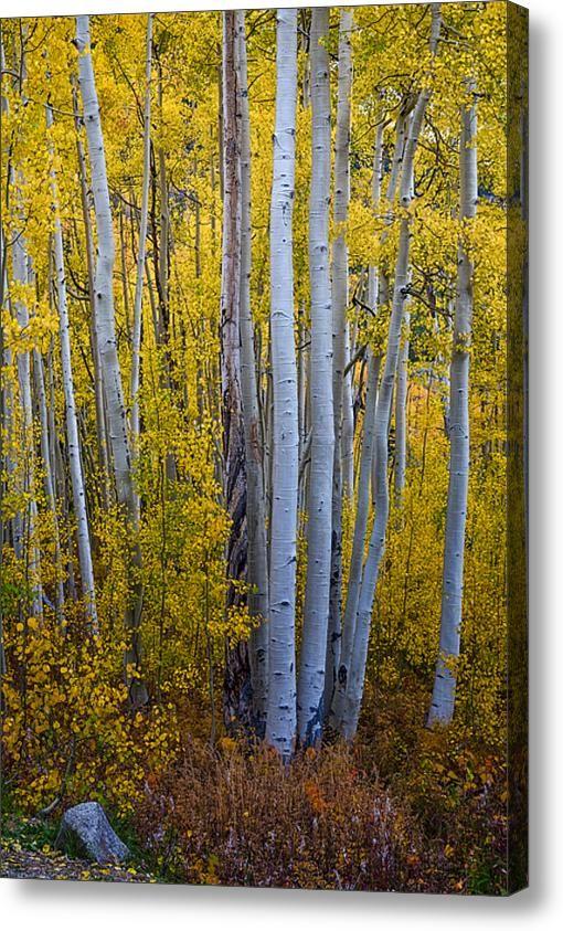 Golden #Aspen Tree #Forest Portrait #Acrylic #Nature #Art #Print By ...