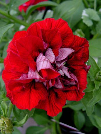 Petunia Surfinia Double Red Blooming Flowers Pretty Flowers