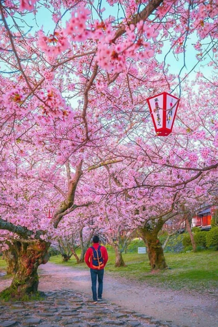 "Sakura"" is called the cherry blossoms in Japan. These"