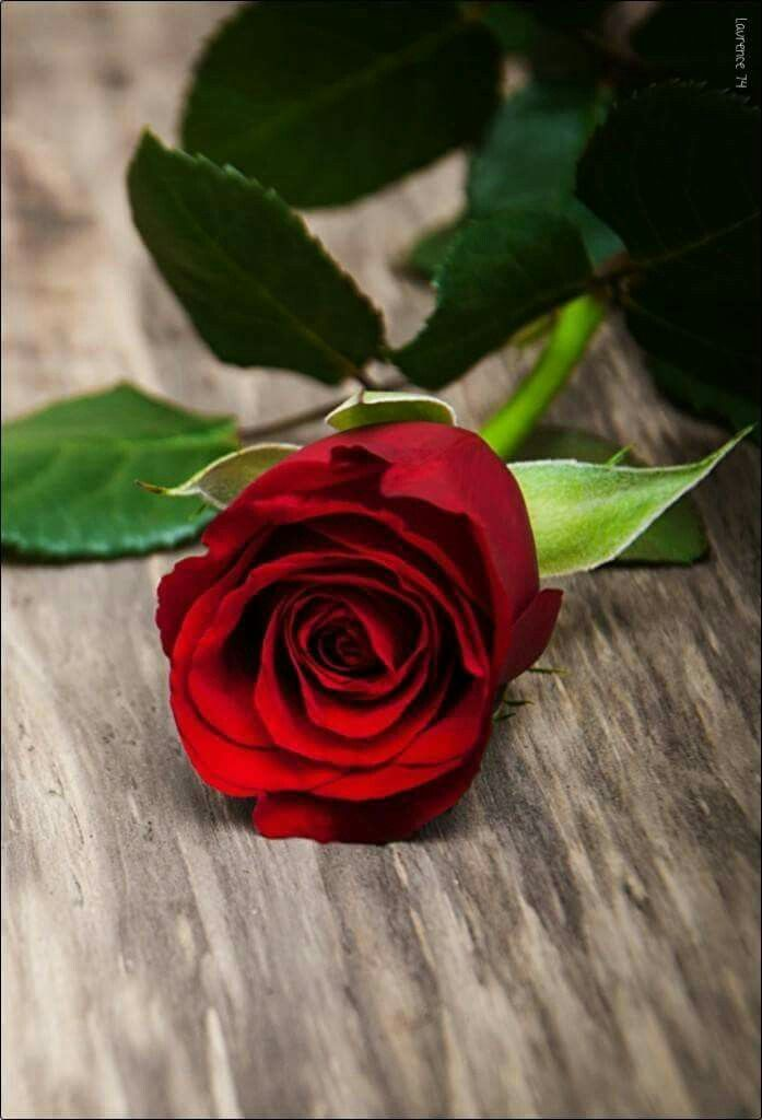 Only For You My Love Love Rose Flower Beautiful Rose Flowers Rose Flower Wallpaper