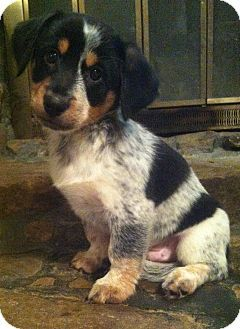Warwick Ri Australian Cattle Dog Dachshund Mix Meet Wess A