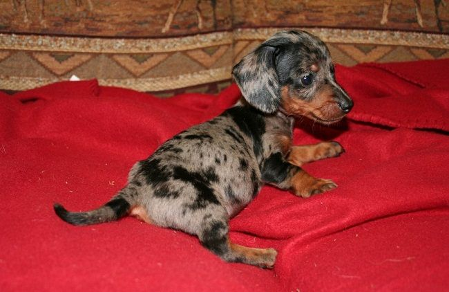 Mini Dachshund Puppies For Sale In Mi Zoe Fans Blog With Images