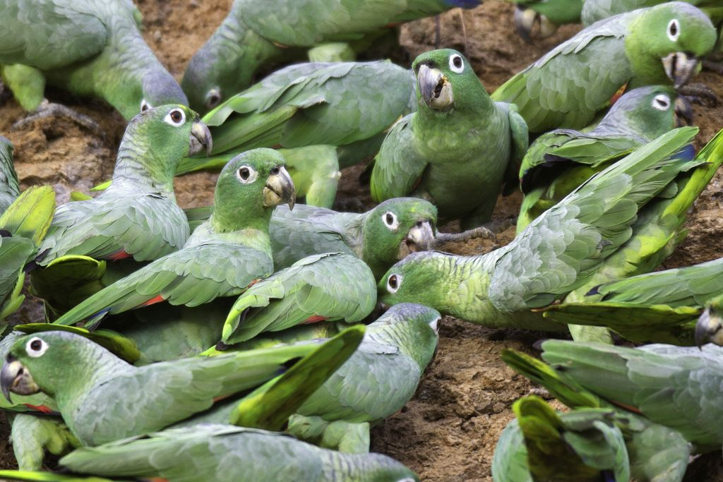 Mealy Amazon Parrots At the TRC Claylick.