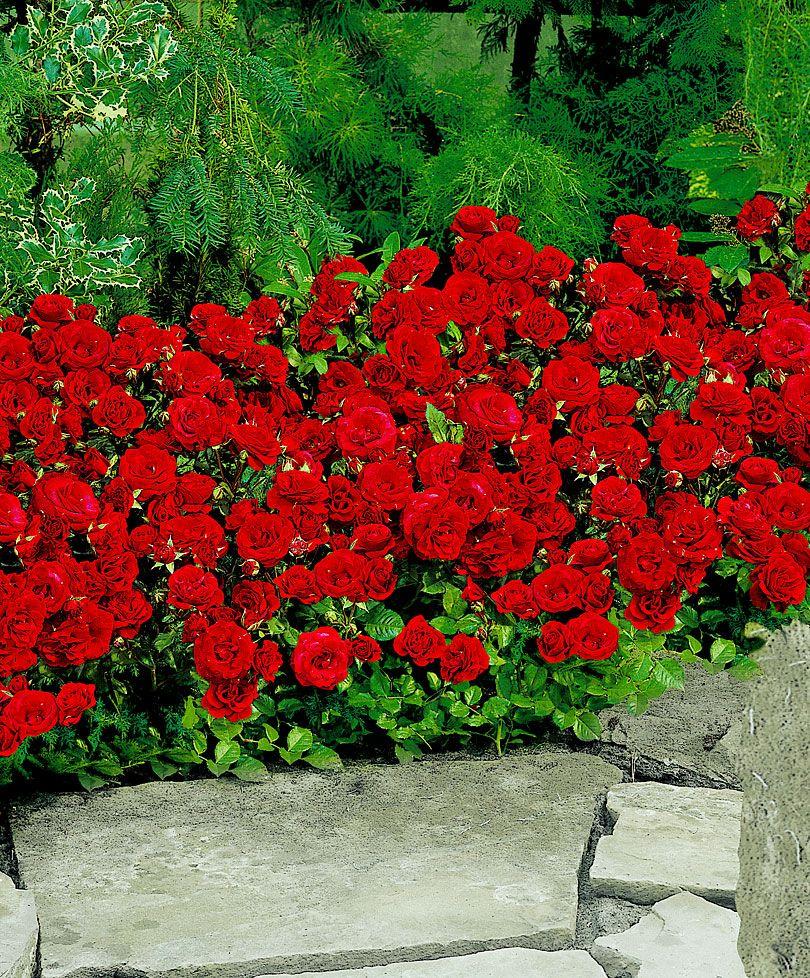 le c l bre rosier haie 39 stromboli 39 a de magnifiques fleurs rouge il est vigoureux croissance. Black Bedroom Furniture Sets. Home Design Ideas