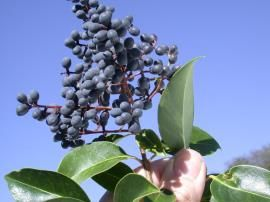 Broad-leaf privet fruit. (Photo: John Hosking.) So there are weed trees in our yard...