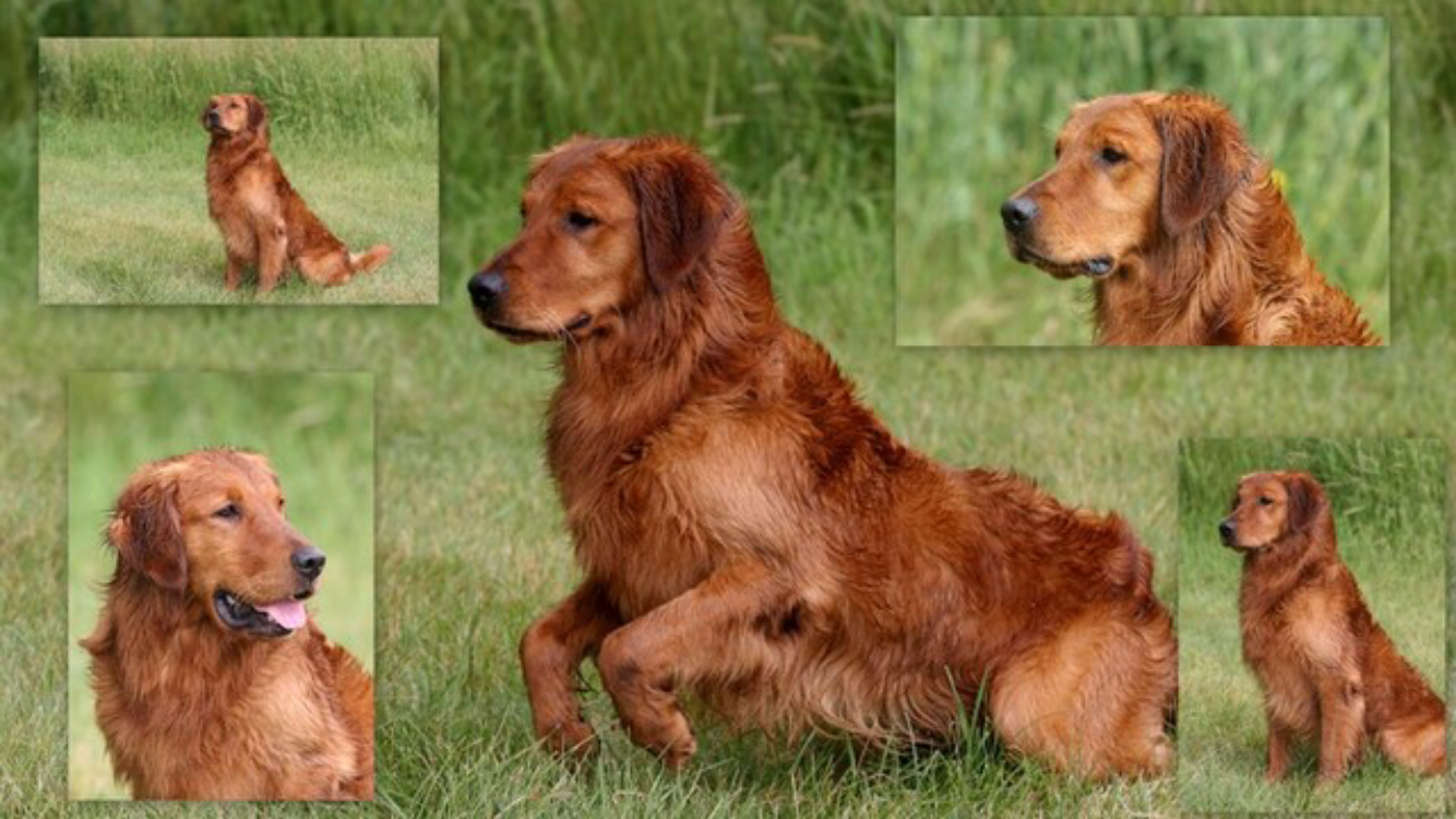 Choctaw Yukon Copper Penny Mnh Mh American Field Bred Golden Retriever Retriever Most Beautiful Dogs Golden Retriever