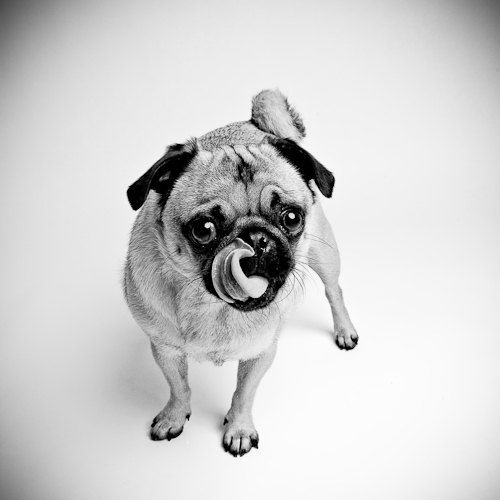 Curly Tongue Curly Tailed Dog Pugs Cute Pugs Cute Funny Dogs