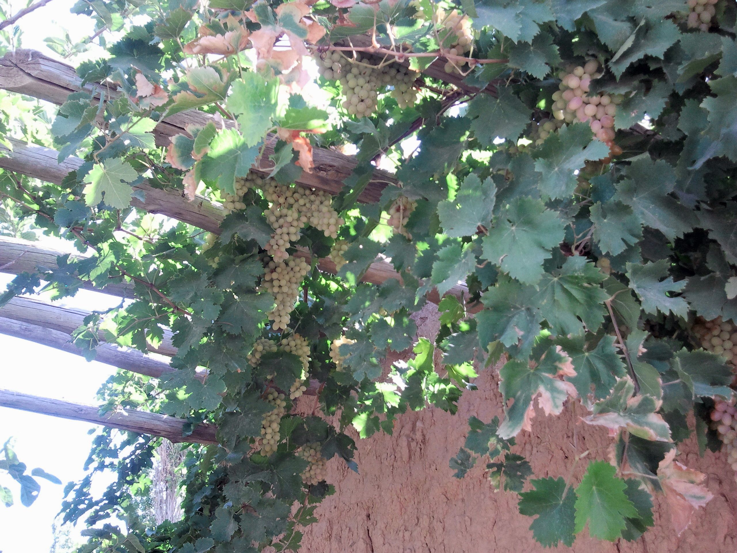 Grapesshahrood iran grapes plants garden