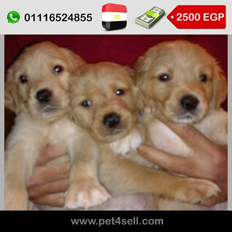 Egypt New Cairo Golden Retriever Puppies Puppies 45 Days Dewormed