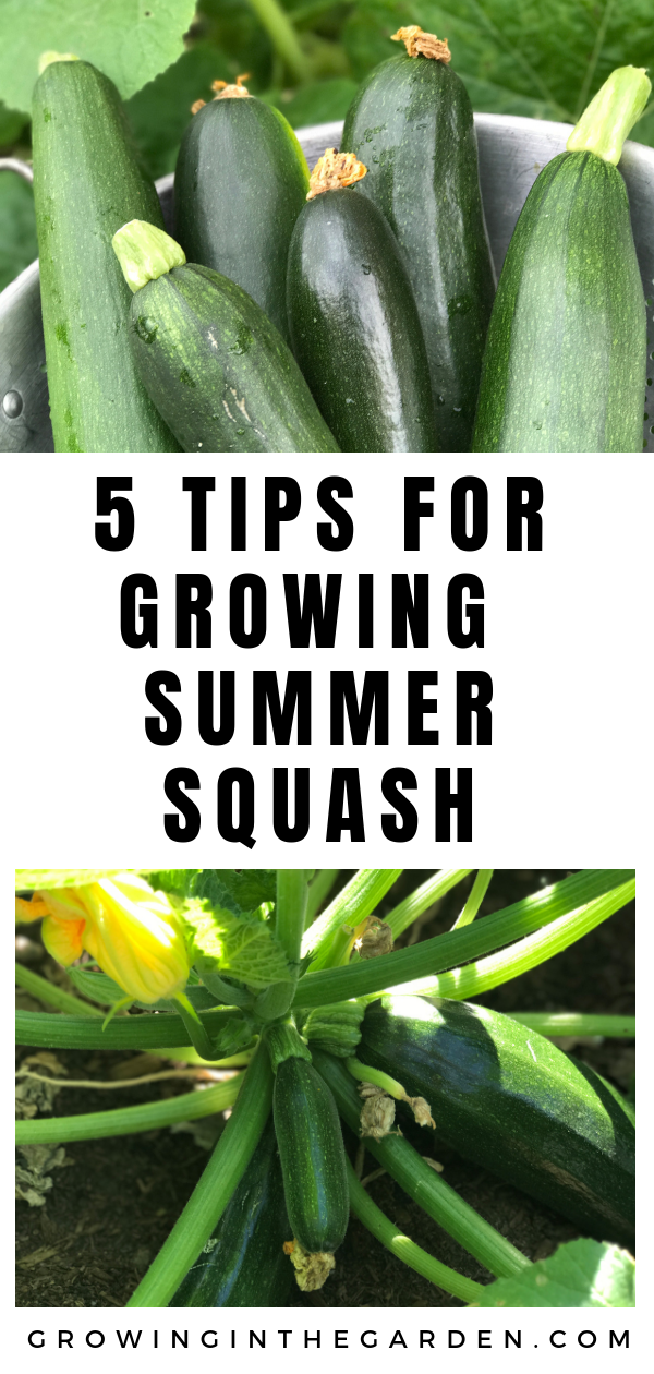 5 Tips For Growing Summer Squash Growing Squash 640 x 480
