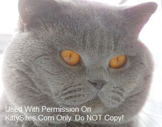 British Shorthair Cat Kitten Websites British Shorthair British Shorthair Breeders British Shorthair Cats