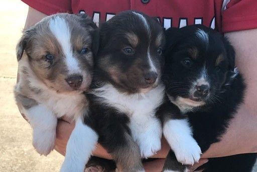 Australian Shepherd Puppy For Sale In Landrum Sc Adn 26694 On