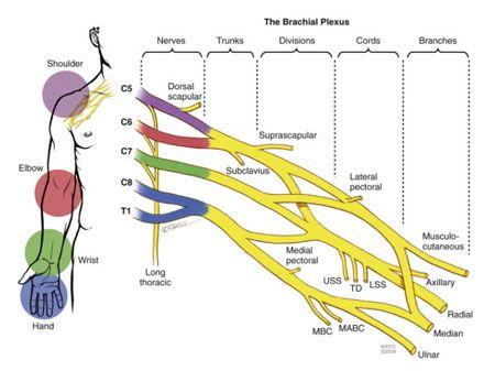 Brachial Plexus Subway Map.Brachial Plexus Injuries Orthoinfo Aaos Hand Plexus Products