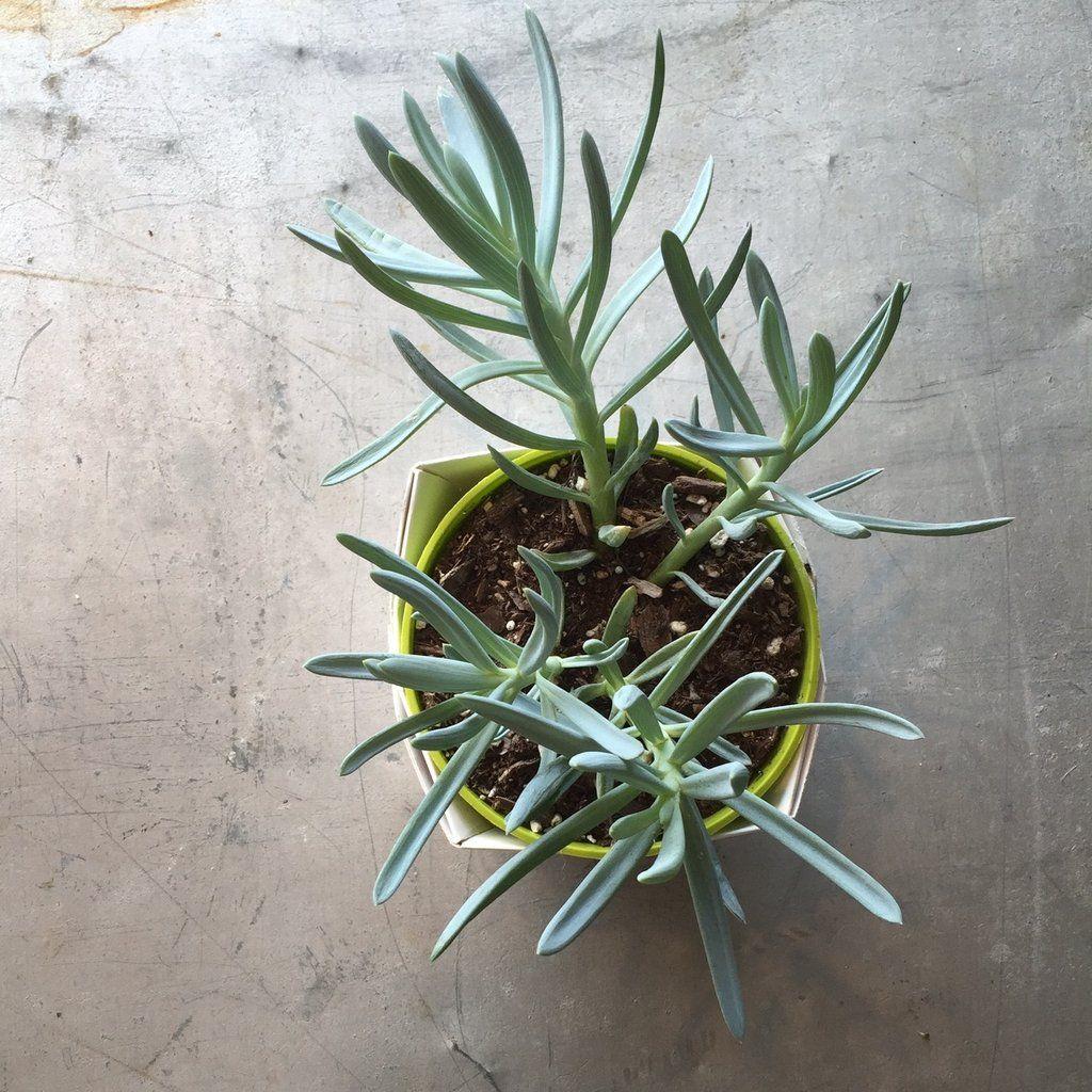 Succulent senecio ublue fingersu products blue fingers and plants
