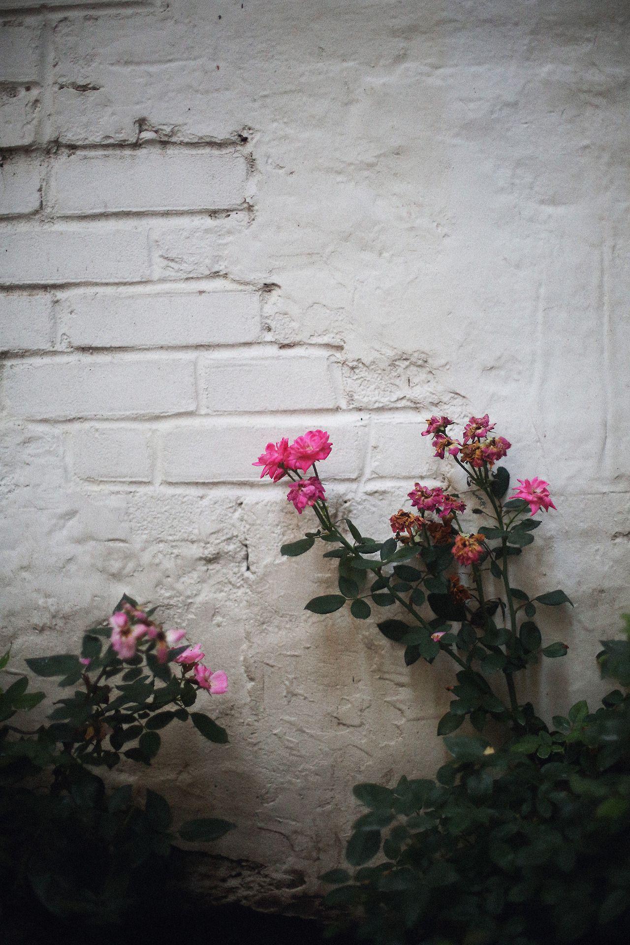 Http Hawaiiancoconut Tumblr Com Post 93787794221 Magenta Roses White Brick Wall Flowers Photography Wallpaper White Brick Walls Flower Wallpaper
