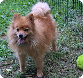 Yardley, PA - Pomeranian Mix. Meet Rummy, a dog for adoption. http://www.adoptapet.com/pet/13519406-yardley-pennsylvania-pomeranian-mix
