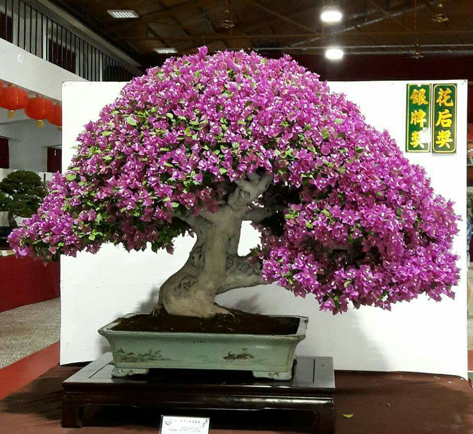 Bougenville Bonsai Garden Bougainvillea Bonsai