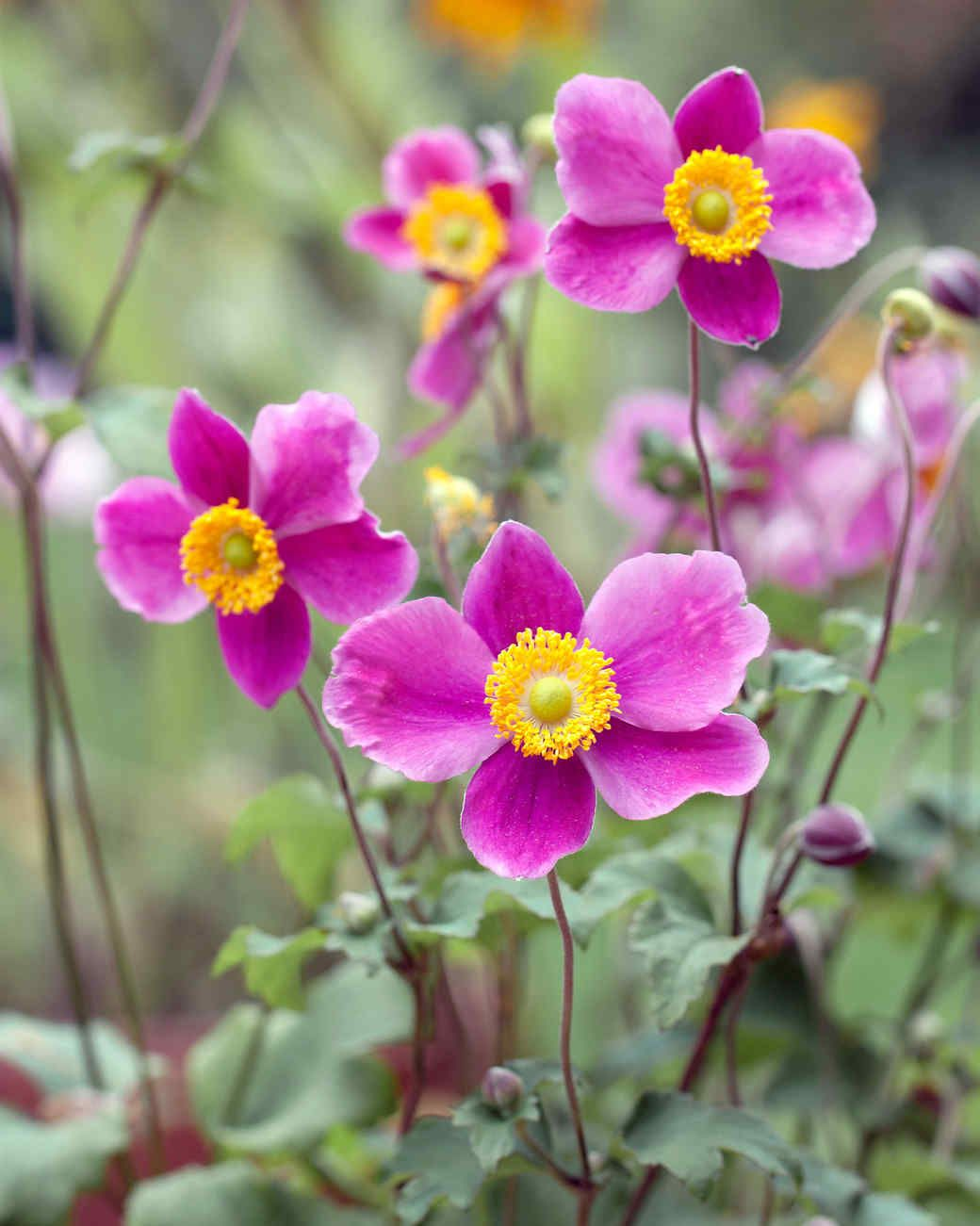 Your Ultimate Guide To Flowering Perennials Which Popular Plants Bloom When Beautiful Flowers Garden Fall Flowers Fall Plants
