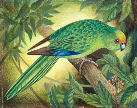 Orange Fronted Parakeet, gouache and coloured pencil - Eileen Mayo (1906-1994)