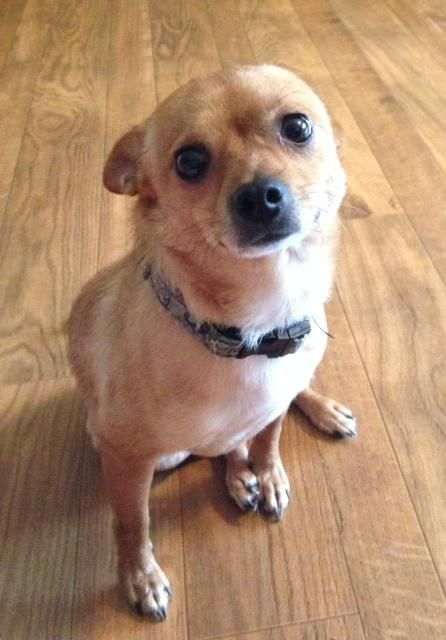 Adopt Whiskey On Small Dog Adoption Chihuahua Dogs Chihuahua Love