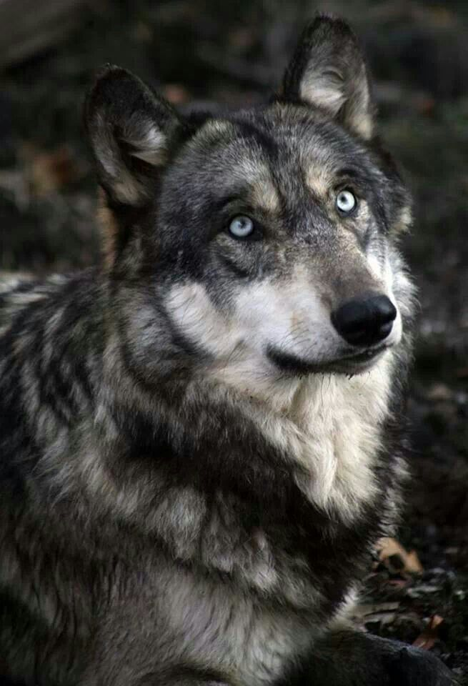 Hudson Gray Wolf