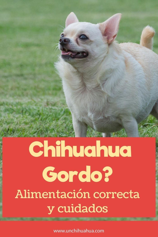 Tu Chihuahua Está Gordo Guía De Alimentación Y Ejercicio Chihuahua Gorditas Sobrepeso