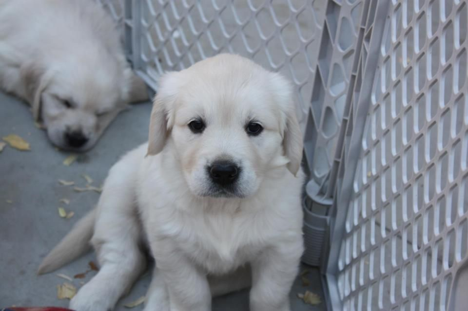 Pin by Kim Smith on For the Home Retriever puppy