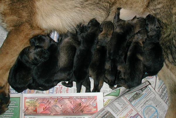 Newborn German Shepherd Puppies Pictures Zoe Fans Blog German Shepherd Puppies German Shepherd Newborn Puppies