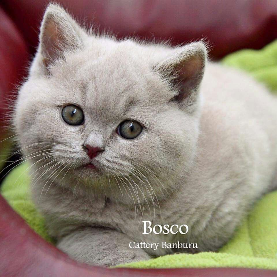 Available For Sale Very Beautiful Lilac British Shorthair Boy
