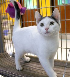 Adopt Eore Adopted On Petfinder Grey And White Cat Grey And White Kitten Spotted Cat