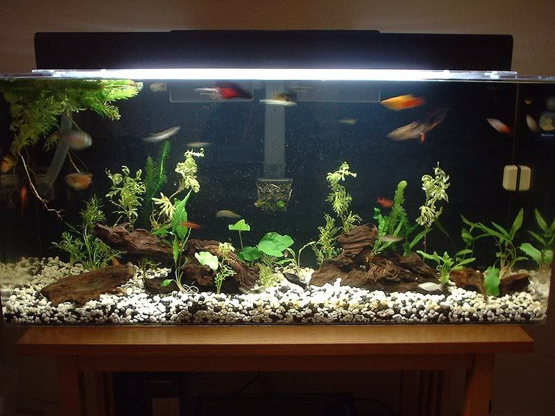 Tropical fish aquarium community tank fish pinterest for Aquarium decoration idea