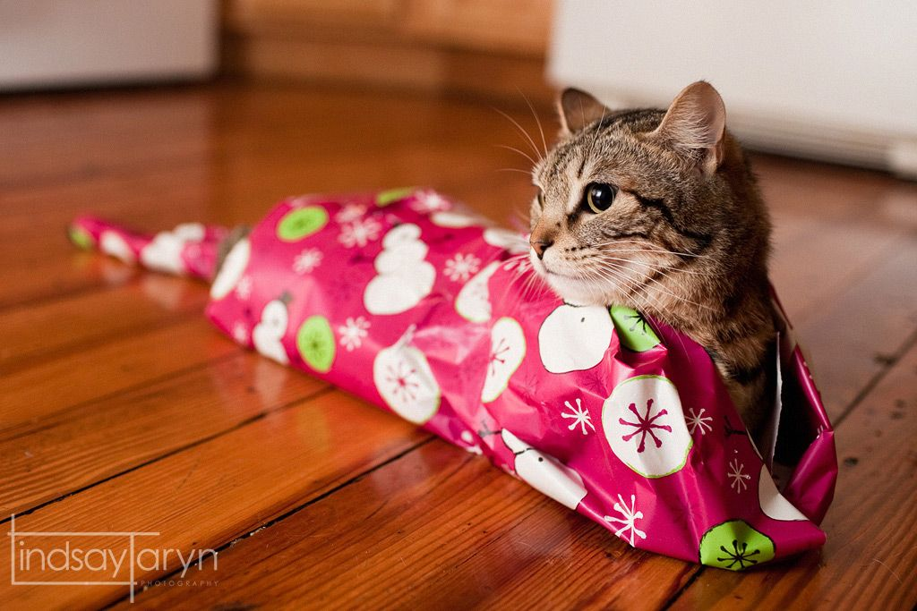 adorable christmas pet photography cat all wrapped up - How To Wrap A Cat For Christmas