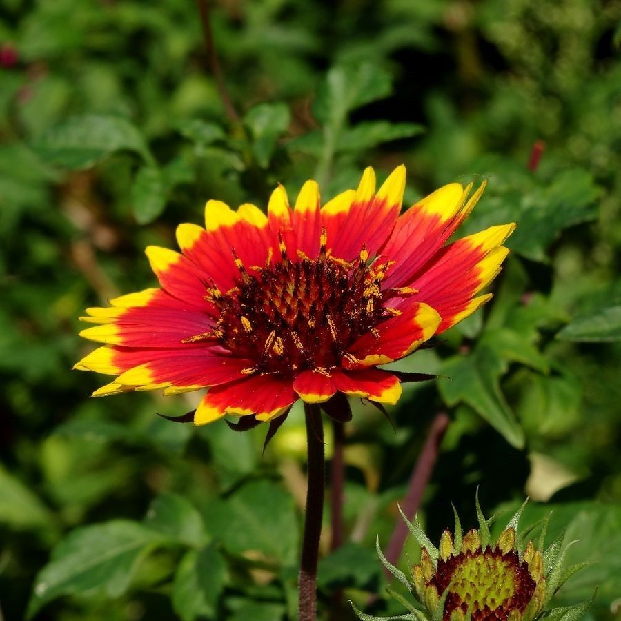 A beautiful red and yellow #Chrysanthemum. #japan #flower #red ...