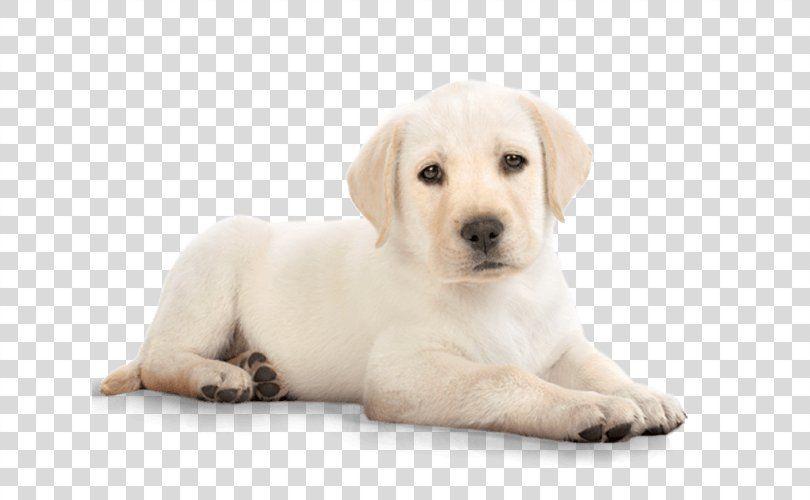 Puppy Labrador Retriever Golden Retriever Clip Art Puppy Png Puppy Animal Carnivoran Companion Dog Dog Labrador Retriever Retriever Puppy Dog Sitting