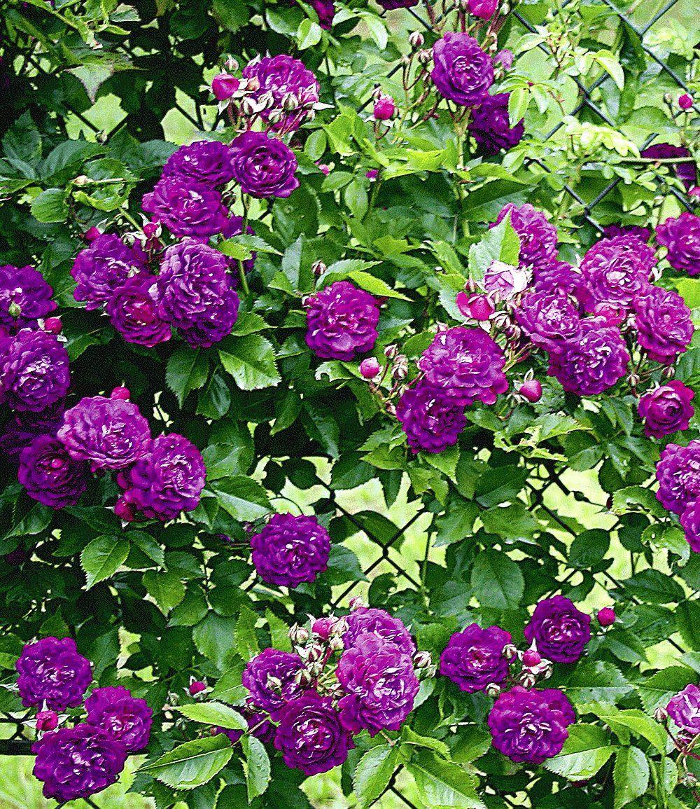 rambler-rose 'bleu magenta': 2m breit, 5m hoch, kompakter wuchs
