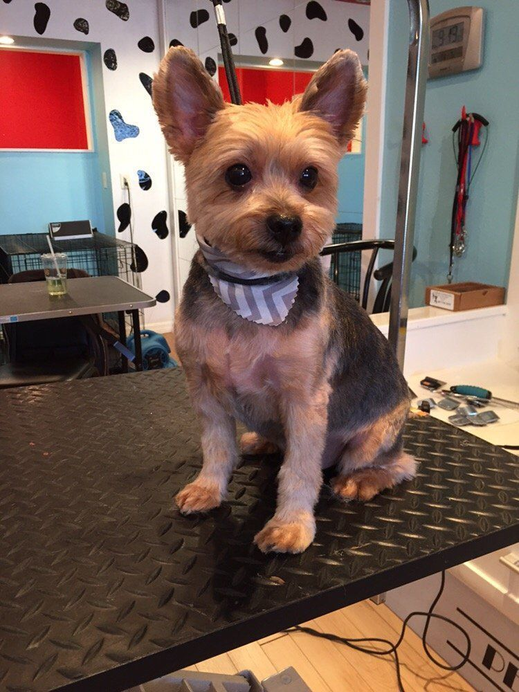 Super Short Yorkie Haircut Google Search Yorkiepuppyorlando Yorkie Dogs Yorkie Terrier Yorkie