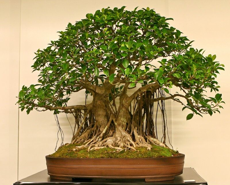 Laurel de la India Bonsái Ficus microcarpa retusa Chinese