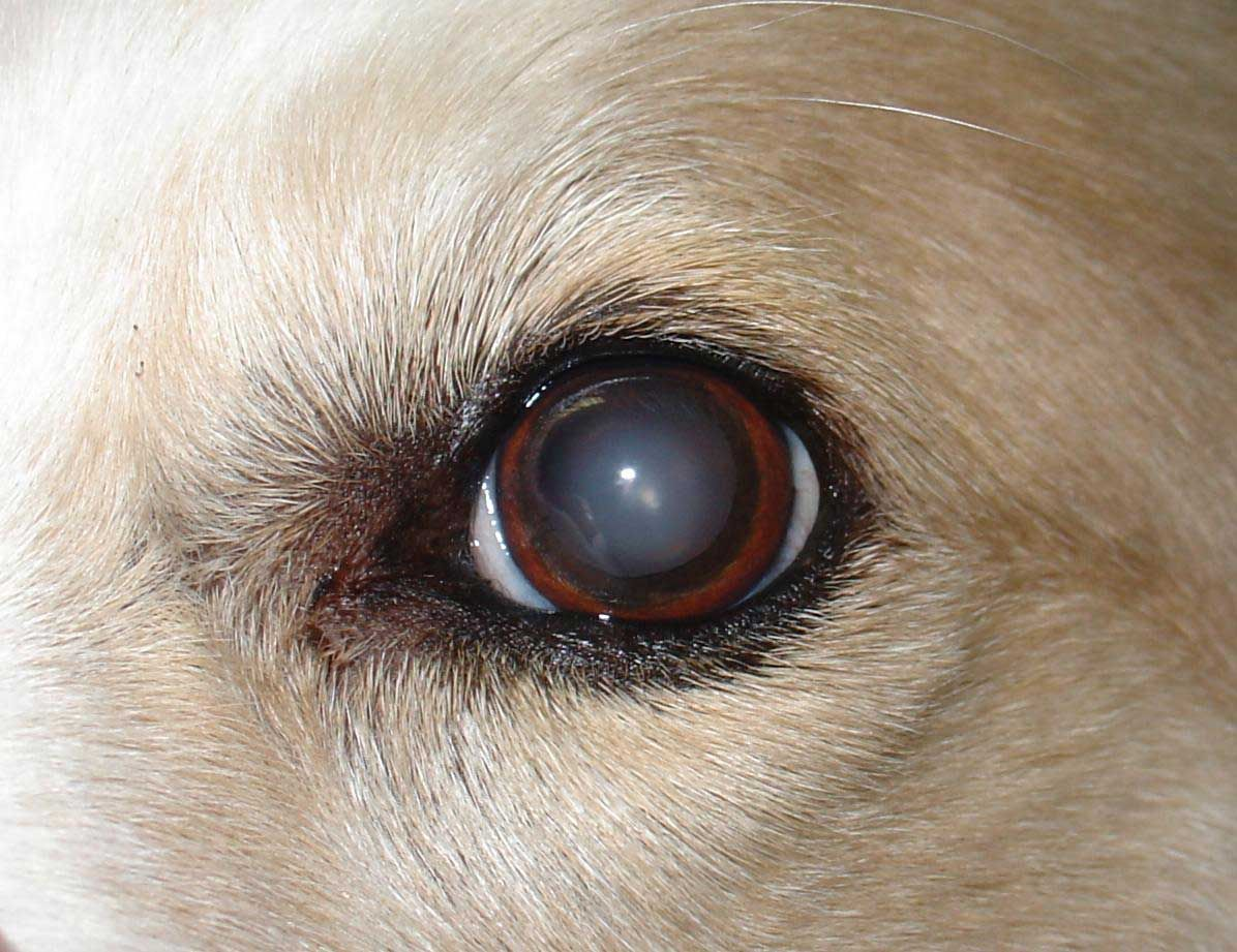 Canine Cataracts Affect Dogs Of All Ages Dogs Eyes Problems