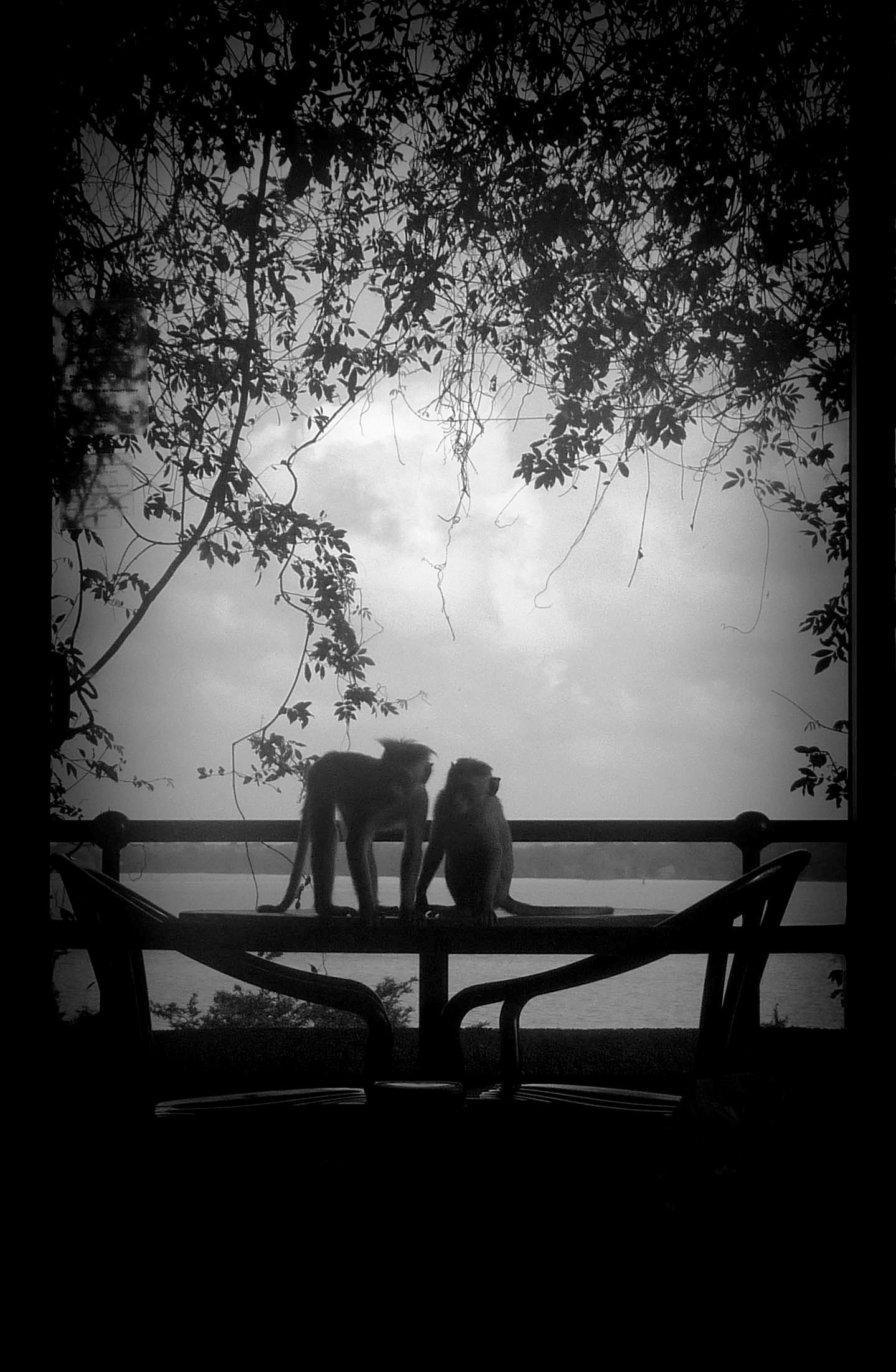 Romantic monkeys