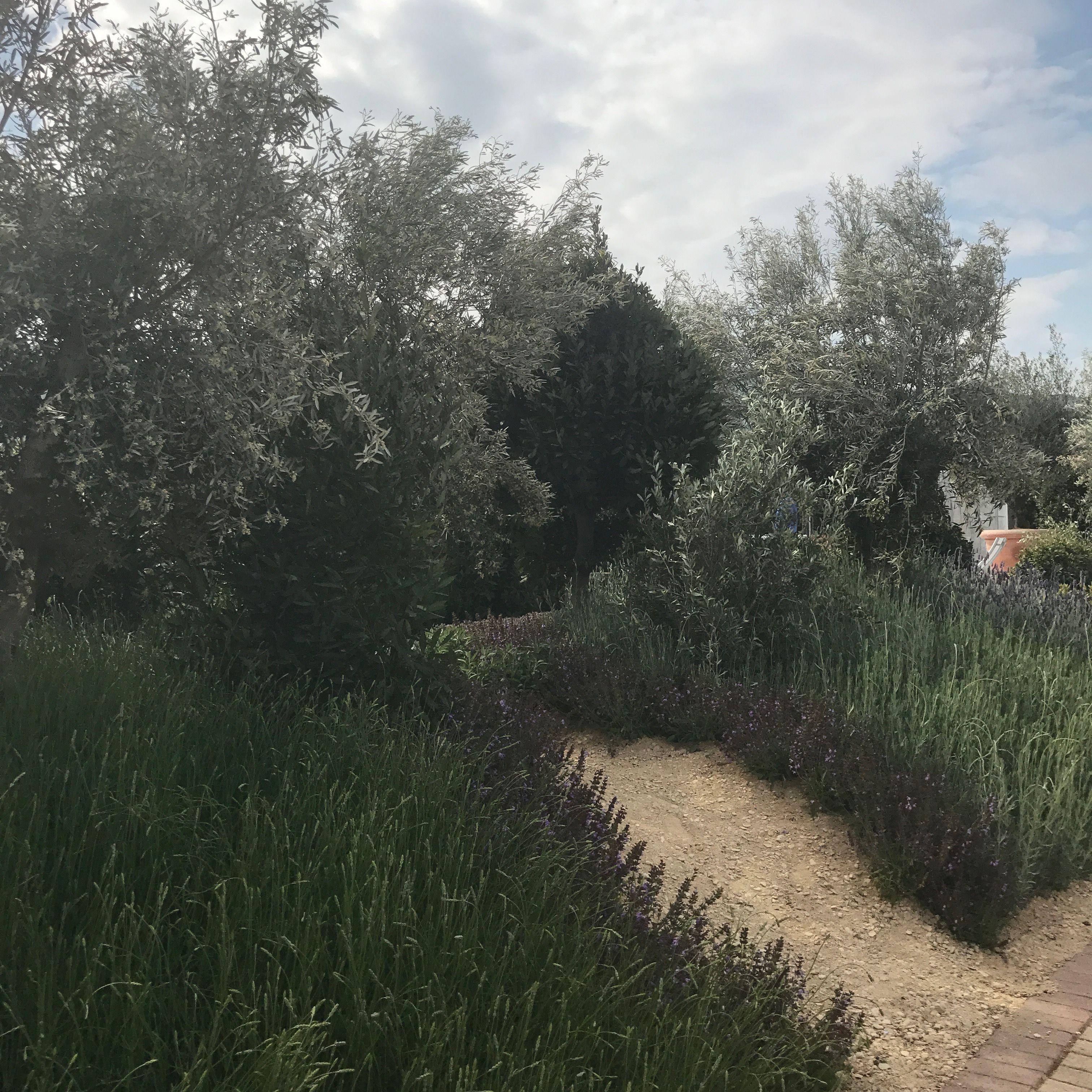 mass planting of lavender in rsh malvern show garden looks