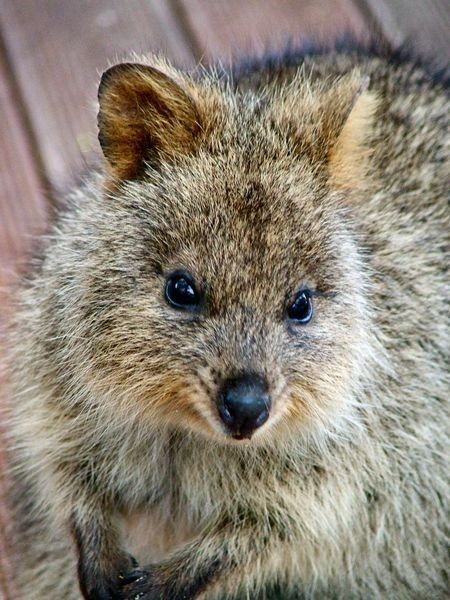 Quokkas are about the size of domestic cats. They are